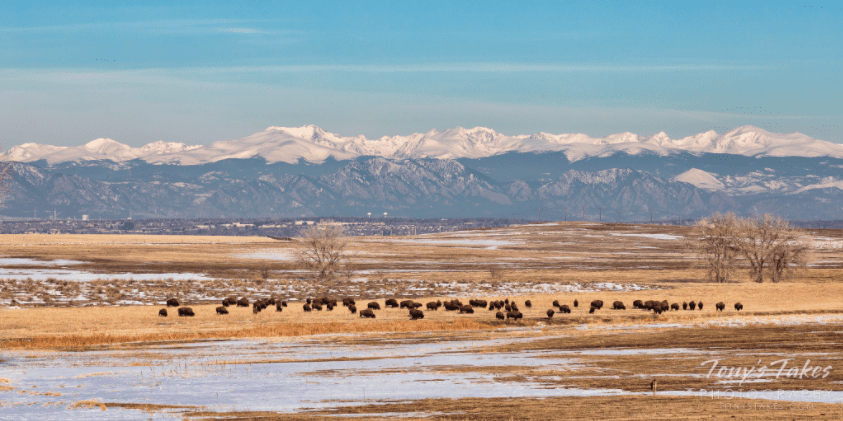 Colorado Front Range with bison grazing