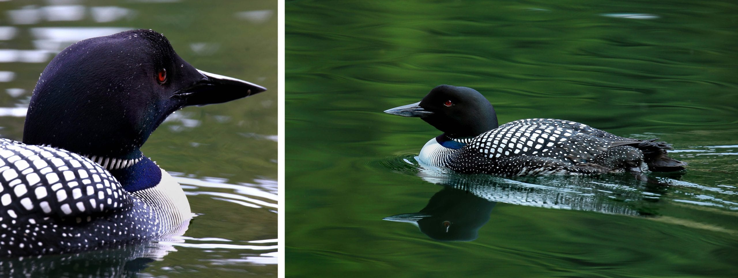 Loons by William Murdock